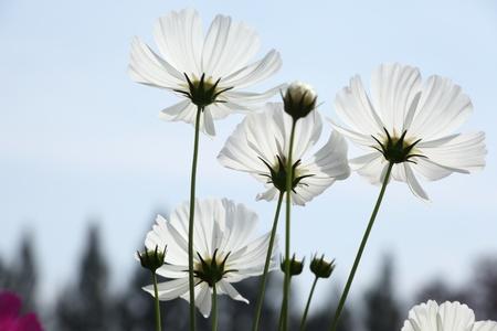 tickseed: The beautiful white cosmos