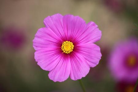 tickseed: The beautiful pink cosmos