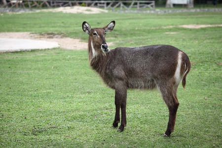 Nyala in Zoo photo