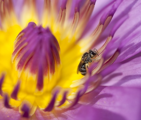 A bee find sweet in the beautiful of pink lotus Stock Photo - 13509648