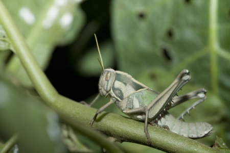 A young grasshopper Stock Photo - 14004364