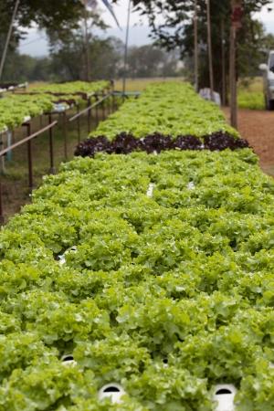 hydroponics: Green-oak in hydroponics farm