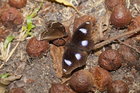 spp: Great Egg-fly butterfly with ficus spp