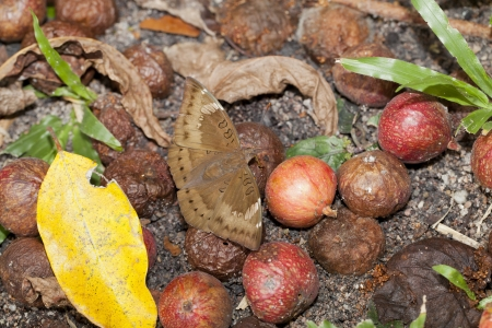 spp: The Common Baron butterfly with ficus spp