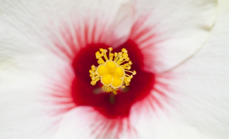 mallow: Rose mallow pollen close up