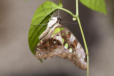 green jay: Tailed Jay verde mariposa