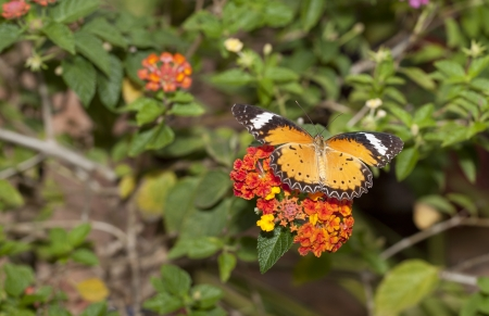 lacewing: Leopard lacewing butterfly on flower Stock Photo