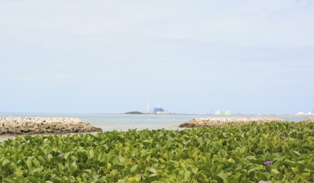 pes caprae: Beach morning glory on the beach