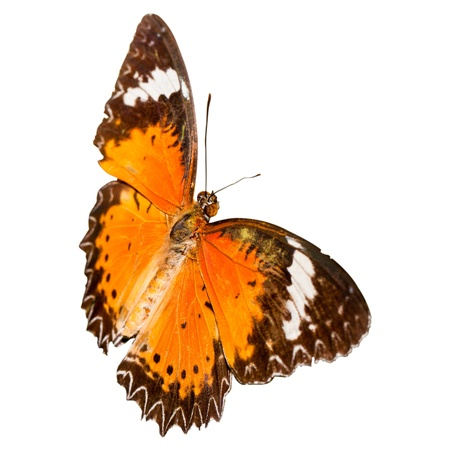 lacewing: Leopard Lacewing butterfly isolated on the white background