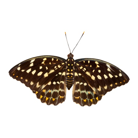 archduke: Common archduke butterfly isolated