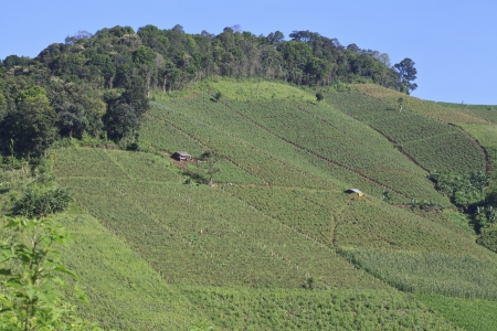 Vegetable farm view in the north of Thailand photo