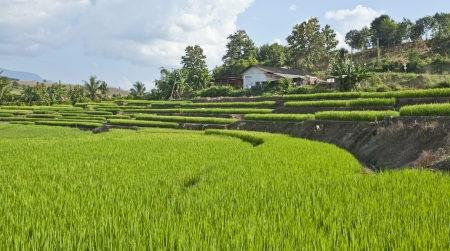 rice terrace: Rice terrace field of Thailand