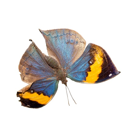 Orange oakleaf butterfly isolated on the white background Stock Photo - 15975687