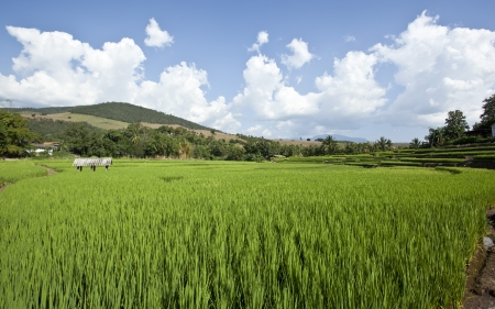 The green of rice field in the north of Thailand photo