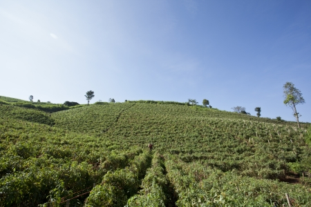 Tomato farm  in the north of Thailand photo