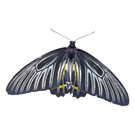 The golden birdwing butterfly isolated photo