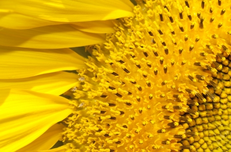 Sunflower blossom season photo