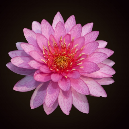 The beautiful pink lotus bloom photo