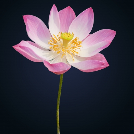Indian lotus isolated on the black background photo