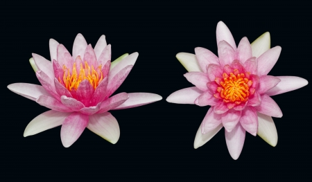 The beautiful pink lotus isolated on the black background photo