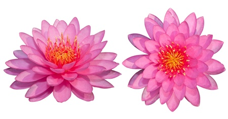 The beautiful pink lotus isolated on the white background photo