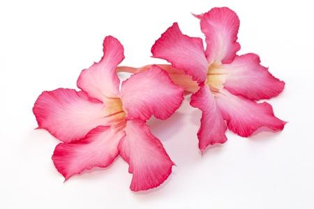 obesum: Desert rose flower isolated on the white background