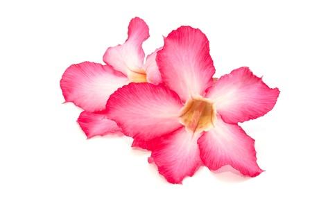 Desert rose flower isolated on the white background Stock Photo - 18524295