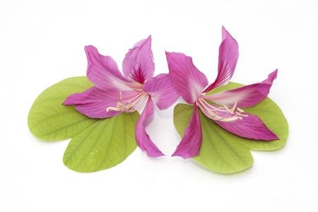 orchid tree: Flor de la orqu�dea �rbol aislado en el fondo blanco