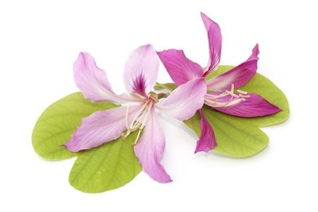 orchid tree: Flor del �rbol de orqu�dea aislado en el fondo blanco Foto de archivo
