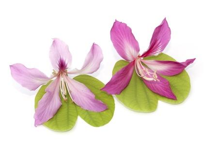 orchid tree: Flor del ?rbol de orqu?dea aislado en el fondo blanco Foto de archivo