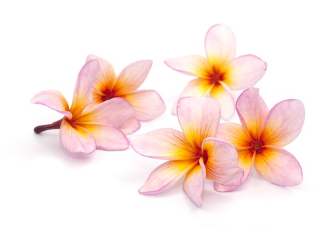 The pink frangipani isolated on the white background photo