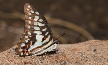 Common jay butterfly in the nature photo