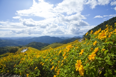 Mexican sunflower flower season at Doi Mae U-Kho, Thailand photo