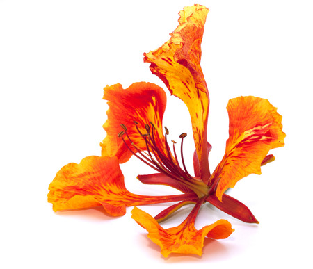 flamboyant: Flame tree flower isolated on the white background Stock Photo