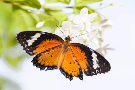 chrysope: Leopard chrysope papillon avec writhtia rekigiosa fleurs Banque d'images
