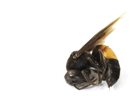 paper wasp: Paper wasp isolated on the white background Stock Photo