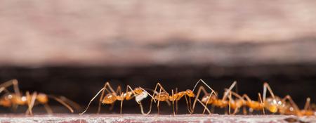 working hard: Social ant working hard Stock Photo