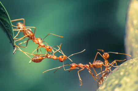 teamwork  together: Ant bridge unity