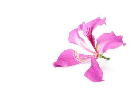 orchid tree: Flor del �rbol de orqu�dea en el fondo blanco Foto de archivo
