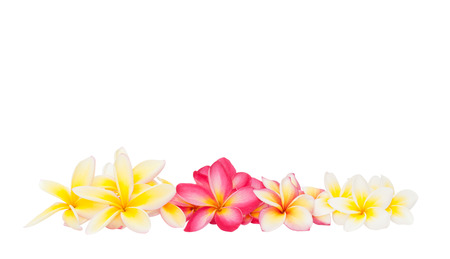 Plumeria flower isolated on the white background photo