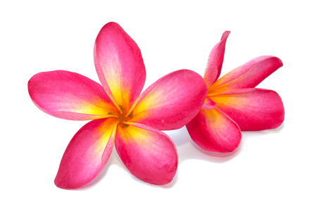 pink flower: Plumeria flower isolated on the white background