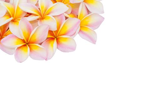plumeria on a white background: Plumeria flower isolated on the white background