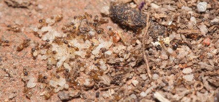 pupa: Ant moving pupa by teamwork