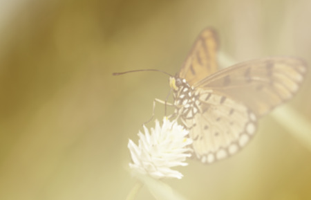tawny: Tawny coster butterfly with soft filter background Stock Photo