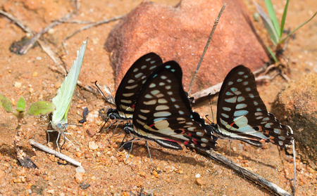 jay: Spotted Jay butterfly close up in the nature