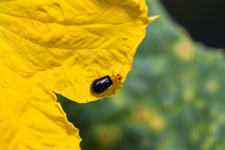 cucurbit: Black cucurbit beetle ,It feeds on young leaves and flowers of loofah