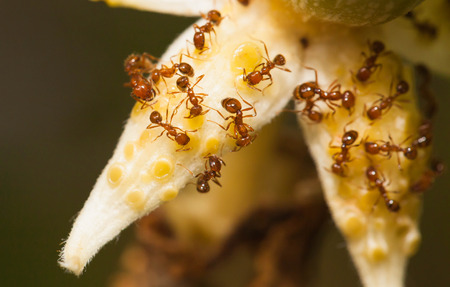 ants: Fire ant eat nectar from angled gound flower