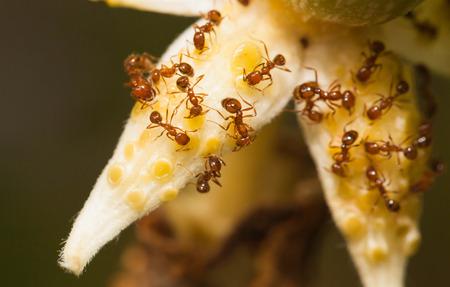 hormiga: Hormiga de fuego comer néctar de la flor gound en ángulo Foto de archivo