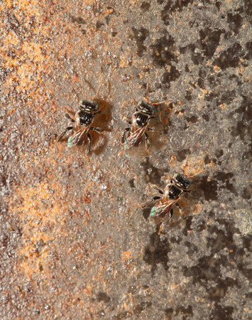 pollinator: Stingless bee ,insect pollinator in the nature Stock Photo