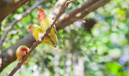 budgerigar: Budgerigar bird in the nature